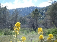Spring flowers in Slover Canyon - Wrightwood CA