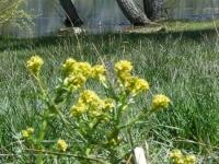 Spring flowers at Jackson Lake - Wrightwood CA