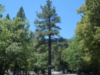 Pine Tree on Acorn Drive in Acorn Canyon - Wrightwood CA