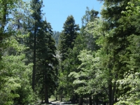 Trees in Acorn Canyon - Wrightwood CA