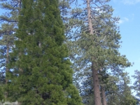 Trees on the Big Pines Nature Trail - Wrightwood CA Hiking