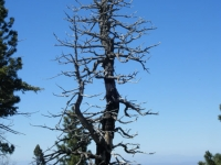 Large tree on Lightning Ridge Nature Trail - Wrightwood CA Hiking