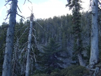 Trees on Mt Baden Powell Trail - Wrightwood CA Hiking