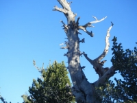 Dead tree on Mt Baden Powell Trail - Wrightwood CA Hiking