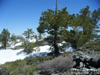 Trees atop Pine Mountain on North Backbone Trail - Wrightwood CA Hiking
