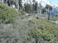 More overgrown thorn bushes on Dawson Peak Trail with Mt Baldy in background - Wrightwood CA Hiking
