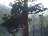 Large tree on the Fish Fork Trail - Wrightwood CA Hiking