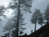 Trees in the fog on the Fish Fork Trail - Wrightwood CA Hiking