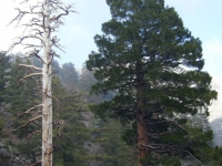 Large trees on the Fish Fork Trail - Wrightwood CA Hiking