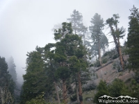 Trees on the Fish Fork Trail - Wrightwood CA Hiking