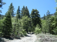Acorn Trail in Acorn Canyon - Wrightwood CA Hiking