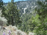Flowers in Acorn Canyon on Acorn Trail - Wrightwood CA Hiking