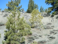 Trees near the top of the Landslide on Wright Mountain - Wrightwood CA Mountains