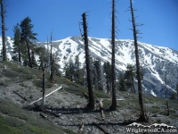 Mt Baldy behind dead trees on the Dawson Peak Trail - Wrightwood CA Mountains