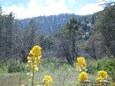 Flowers near top of Lone Pine Canyon. - Wrightwood CA Photos