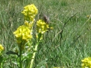 A bee enjoying flowers near Jackson Lake. - Wrightwood CA Photos