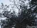 Looking up at a Pine Tree during snow storm. - Wrightwood CA Photos