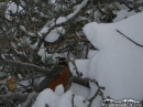 Bird on snow-covered branches. - Wrightwood CA Photos