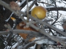 Bird in an apple tree after Winter storm. - Wrightwood CA Photos