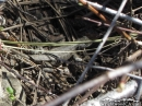 Lizard blending in with some sticks on the ground. - Wrightwood CA Photos