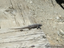 Lizard crawling over wood at the Bighorn Mine - Wrightwood CA Photos